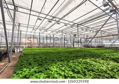 Modern large greenhouse or hothouse, cultivation and growth seeds  of ornamental plants, flower nursery inside interior. Business agriculture botanical gardening manufacturing  #1069239398