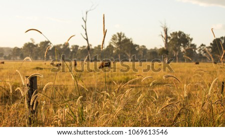 Cows Grazing on a Cattle Farm during the Sunrise in Outback Queensland Australia #1069613546