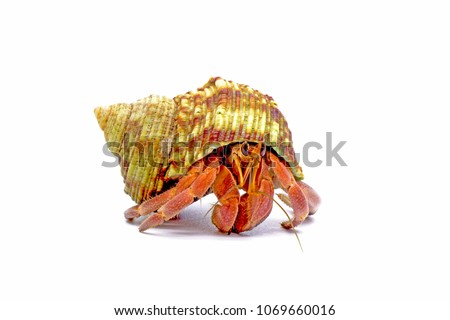 Hermit crabs isolated on white background with selective focus. Hermit crabs are decapod crustaceans of the superfamily Paguroidea. #1069660016