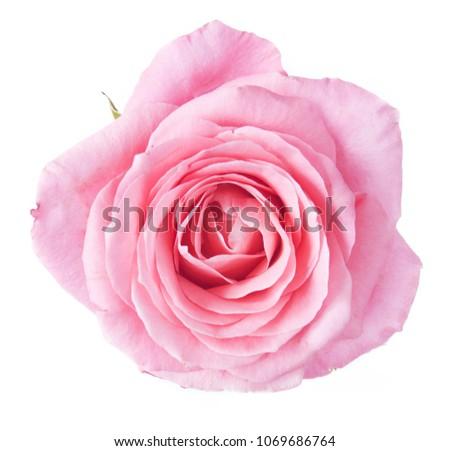 Rose flower isolated on white background #1069686764