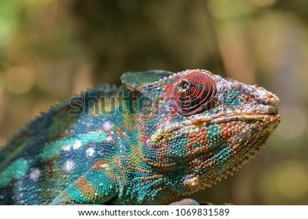 Striking Madagascar Chameleon  #1069831589