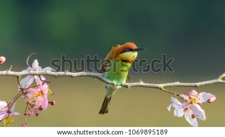 Beautiful Chestnut headed Bee-eater on the wood branch and spread wing in action with beautiful pink flower on blurry shallow background #1069895189