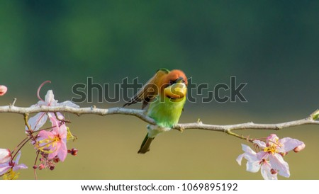 Beautiful Chestnut headed Bee-eater on the wood branch and spread wing in action with beautiful pink flower on blurry shallow background #1069895192