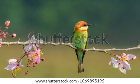Beautiful Chestnut headed Bee-eater on the wood branch and spread wing in action with beautiful pink flower on blurry shallow background #1069895195