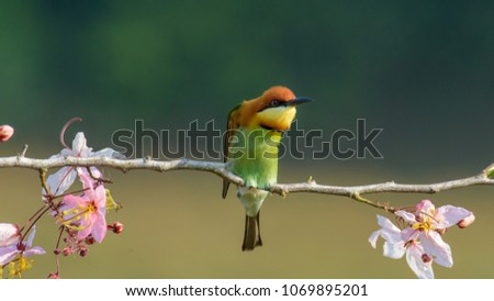 Beautiful Chestnut headed Bee-eater on the wood branch and spread wing in action with beautiful pink flower on blurry shallow background #1069895201