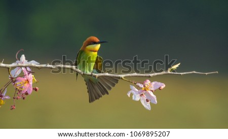 Beautiful Chestnut headed Bee-eater on the wood branch and spread wing in action with beautiful pink flower on blurry shallow background #1069895207