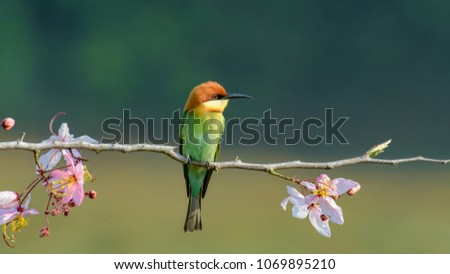 Beautiful Chestnut headed Bee-eater on the wood branch and spread wing in action with beautiful pink flower on blurry shallow background #1069895210
