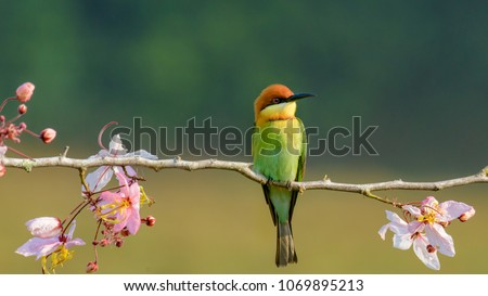 Beautiful Chestnut headed Bee-eater on the wood branch and spread wing in action with beautiful pink flower on blurry shallow background #1069895213