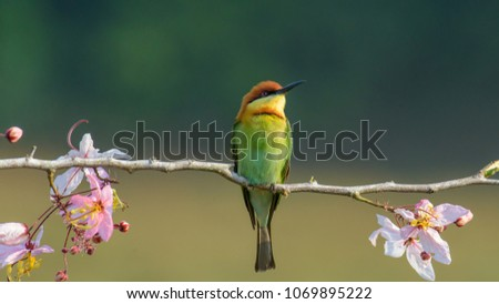 Beautiful Chestnut headed Bee-eater on the wood branch and spread wing in action with beautiful pink flower on blurry shallow background #1069895222