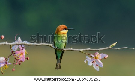 Beautiful Chestnut headed Bee-eater on the wood branch and spread wing in action with beautiful pink flower on blurry shallow background #1069895255