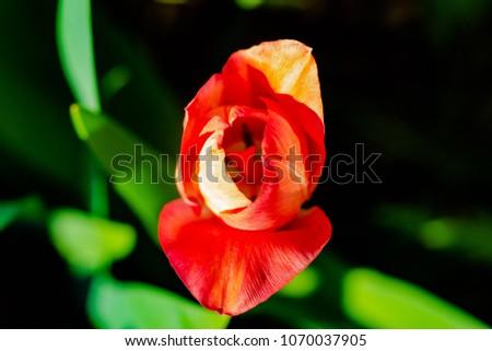 Spring Blooming Tulips #1070037905