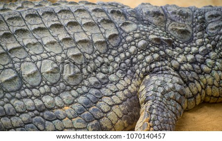 An alligator is a crocodilian in the genus Alligator of the family Alligatoridae,  close up texture of alligator skin #1070140457