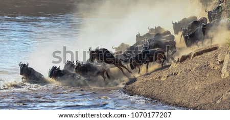 Wildebeest river crossing during the annual migration in the Masai Mara, Kenya. Royalty-Free Stock Photo #1070177207