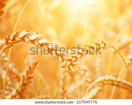 Wheat. Harvest time. #107049776