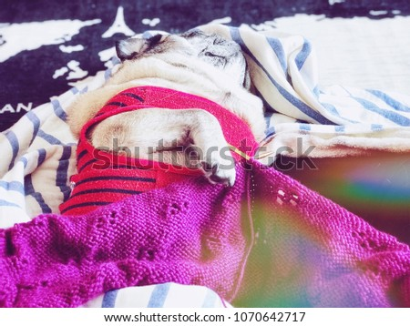 A pug slept with pink knitting #1070642717