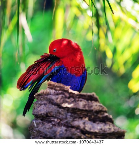 red sided eclectus parrot in palm tree #1070643437