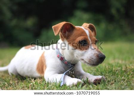 Jack Russel Puppy #1070719055
