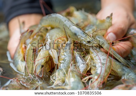 Pacific white Shrimp shrimp is native to North America. This type of shrimp aquaculture in Ecuador, Mexico, Peru, Colombia, Panama, Honduras and Brazil, which produce a lot. #1070835506