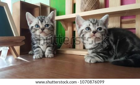 american shorthair kitten #1070876099