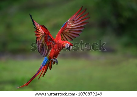 Scarlet Macaw - Ara macao, large beautiful colorful parrot from Central America forests, Costa Rica. #1070879249