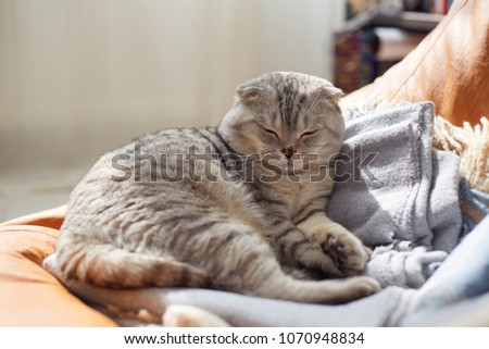 Cute Scottish Fold cat is sleeping on the couch #1070948834