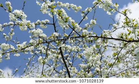 White cherry flowers on spring time #1071028139