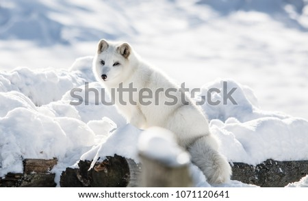 Arctic Fox on a Hill at Omega  Park, Montebello, Quebec, Canada Royalty-Free Stock Photo #1071120641