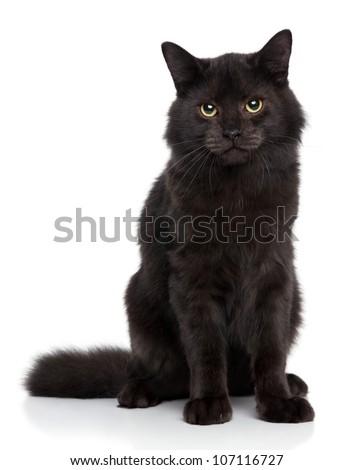 Black Siberian cat on a white background. Studio shoot