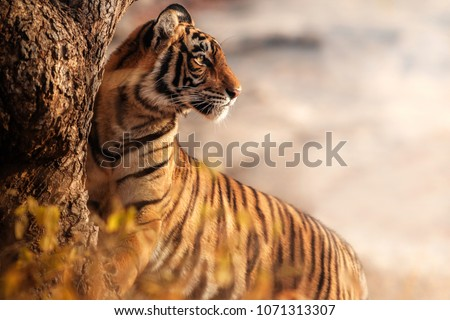 Royal bengal tiger pose with beautiful background. Amazing tiger in the nature habitat. Wildlife scene with dangerous beast. Hot weather in wild India. Panthera tigris tigris. #1071313307