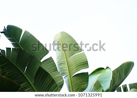 Group of big green banana leaves of exotic palm tree in sunshine on white background. Tropical plant foliage with visible texture. Pollution free symbol. Close up, copy space. #1071325991