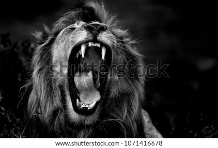 The roar of the lion - Ngorongoro Conservatio Area, Tanzania. Photo taken in Ndutu, on the southern border of the Serengeti. This lion and his brother have recently become lords of that territory. Royalty-Free Stock Photo #1071416678