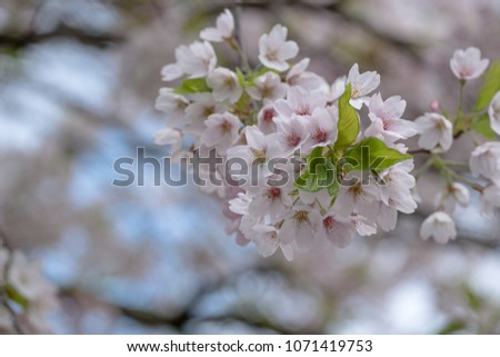 Close up of delicate light pink cherry blossom with blue sky in the background, photographed in Regent's Park, London #1071419753