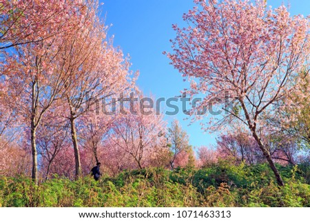 Wild Himalayan Cherry Blossom (Prunus cerasoides) beautiful pink sakura Flower at phu lom lo, Loei, Thailand. #1071463313