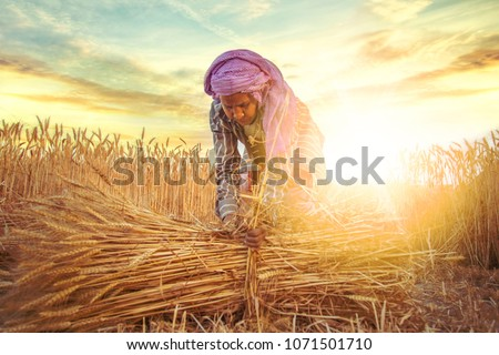 An old indian woman Farmer collecting bundles of wheat stalk ; Haryana ; India #1071501710