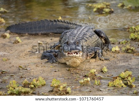 alligator has spotted you and smiles for a picture