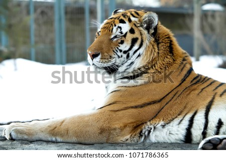 Amazing tiger with a strong look in eyes. Bengal tiger pose on beautiful winter landscape. Great tiger picture on the beautiful background. Portrait of bengal tiger.  Best tigress picture.