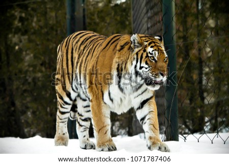 Bengal tiger pose on beautiful winter landscape. Great tiger picture on the beautiful background. Portrait of bengal tiger. Angry predator animal walking. Amazing tiger with a strong look in eyes.