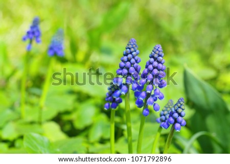 Blue muscari on the glade #1071792896