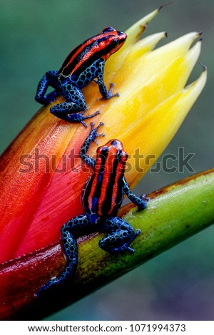 Ecuador has one of the highest numbers of amphibians in the world.  Some are exquisitely beautiful, like this pair of endemic poison dart frogs from near the town of Tena, in the Amazon Basin. #1071994373