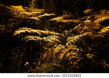 A lush, Fall Forest with Many Ferns in Ural, Fern Forest