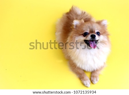 Pomeranian dog with yellow backdrop. #1072135934