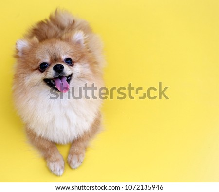 Pomeranian dog with yellow backdrop. #1072135946