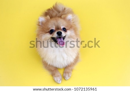 Pomeranian dog with yellow backdrop. #1072135961