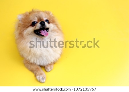 Pomeranian dog with yellow backdrop. #1072135967