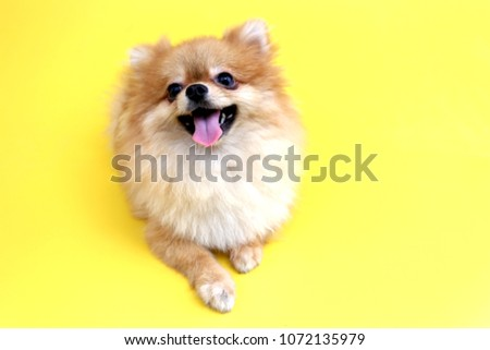 Pomeranian dog with yellow backdrop. #1072135979