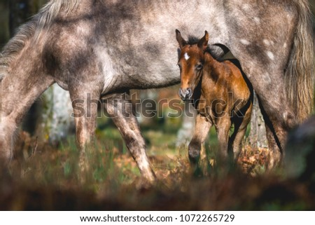 A new born wild horse with its mother pastureing in woodland. Morning lighting #1072265729