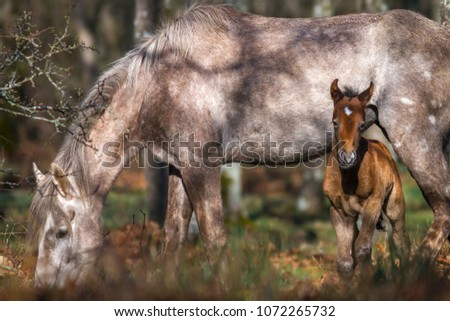 A new born wild horse with its mother pastureing in woodland. Morning lighting #1072265732
