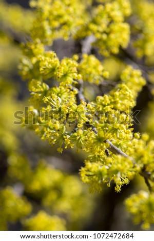 Cornus mas tree branches during early springtime, Cornelian cherry flowering with yellow small flowers #1072472684