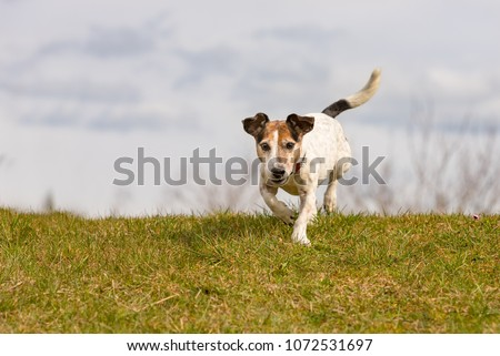 small dog is running across the meadow against blue skies - Jack Russell Terrier 10 years old #1072531697