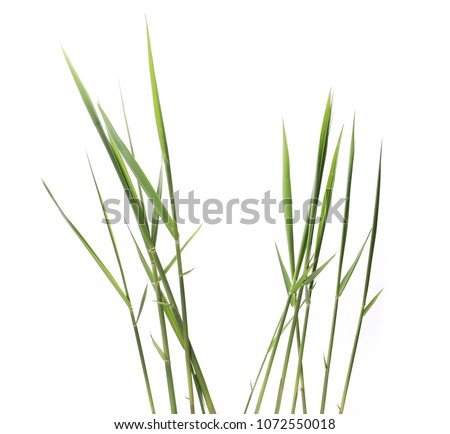 green reed, cane grass Isolated on white background #1072550018